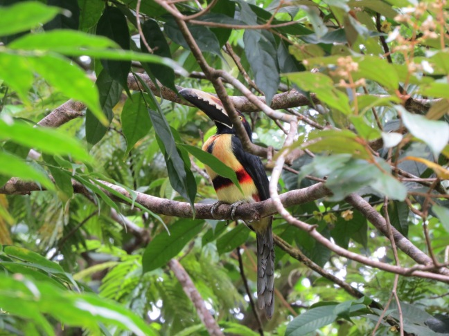 53. Collared Aracari - Evergreen Ecolodge - Tortuguero (1)