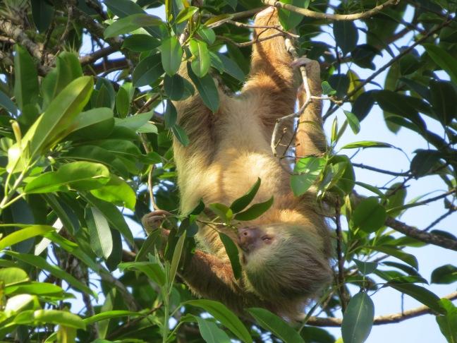 6. Two-toed Sloth - El Ciervo (18)
