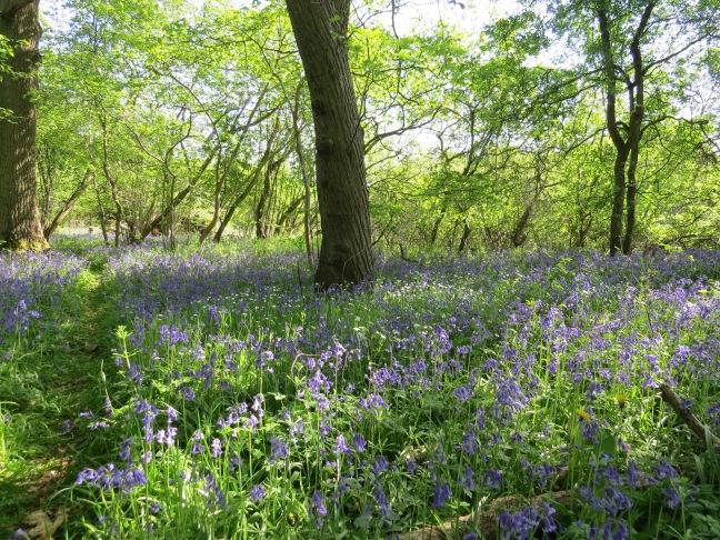 7. Bluebell woods - Hodds Farm, Old Basing (10)